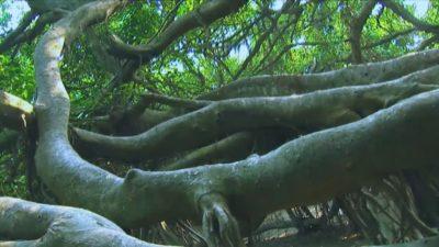 Nine-Headed Dragon Ficus